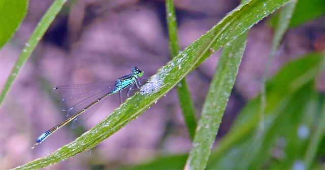 Dragonfly by raptrlvr