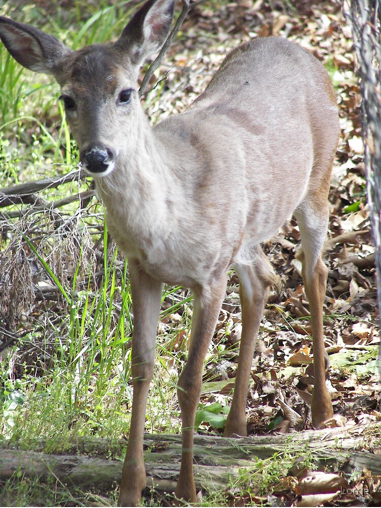 Alabama Deer by Lorrie