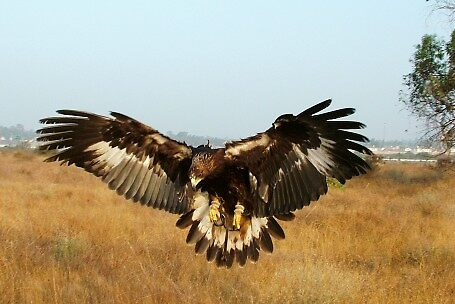 Immature Golden Eagle by raptrlvr