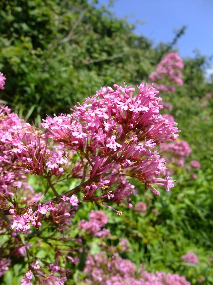Red Valerian by IOMWildFlowers