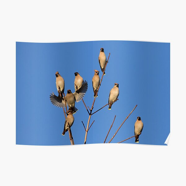 Waxwing Flock Poster