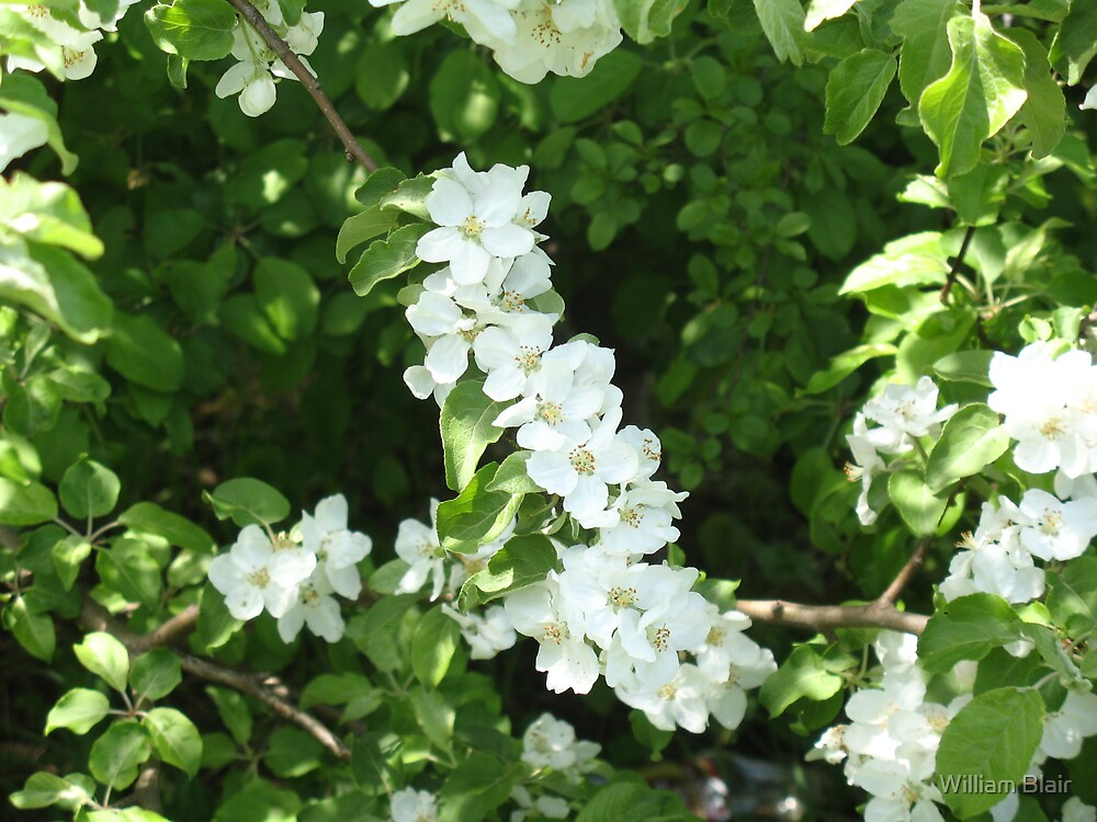 White Flowers. by William Blair