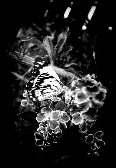 butterfly  3 by kristy  kenning