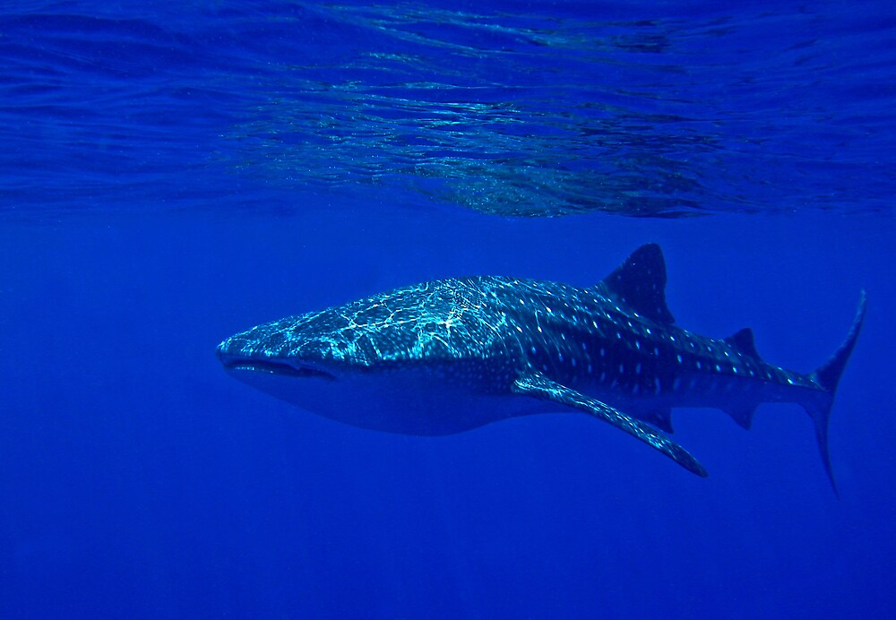 Whale shark by Grey