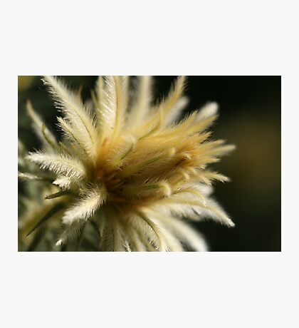 Feather Duster Photographic Print