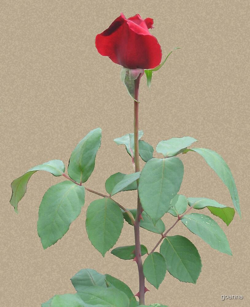 Long stem red rose by goanna
