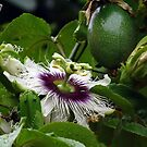 """Passion Flower """"3 in 1"""" by tonyphoto"""