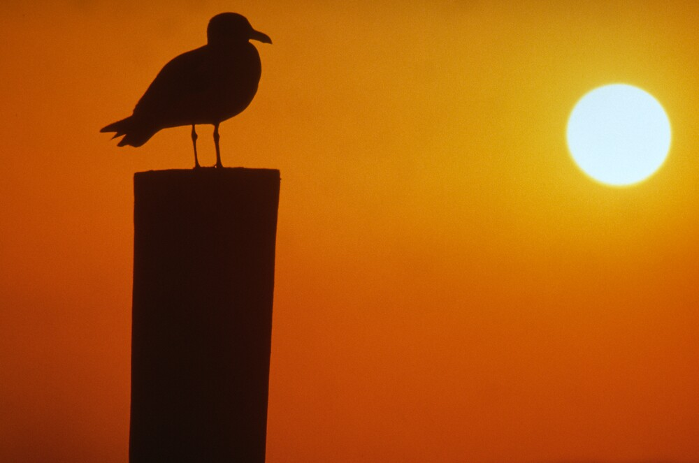 Gull at Sunset by jayobrien