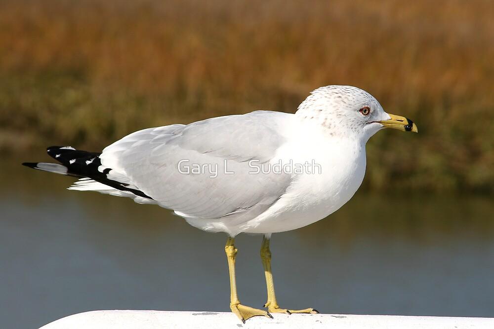 Ring-billed Gull by Gary L   Suddath