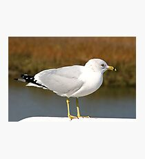 Ring-billed Gull Photographic Print