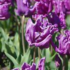 Tulips In Bendigo by lezvee