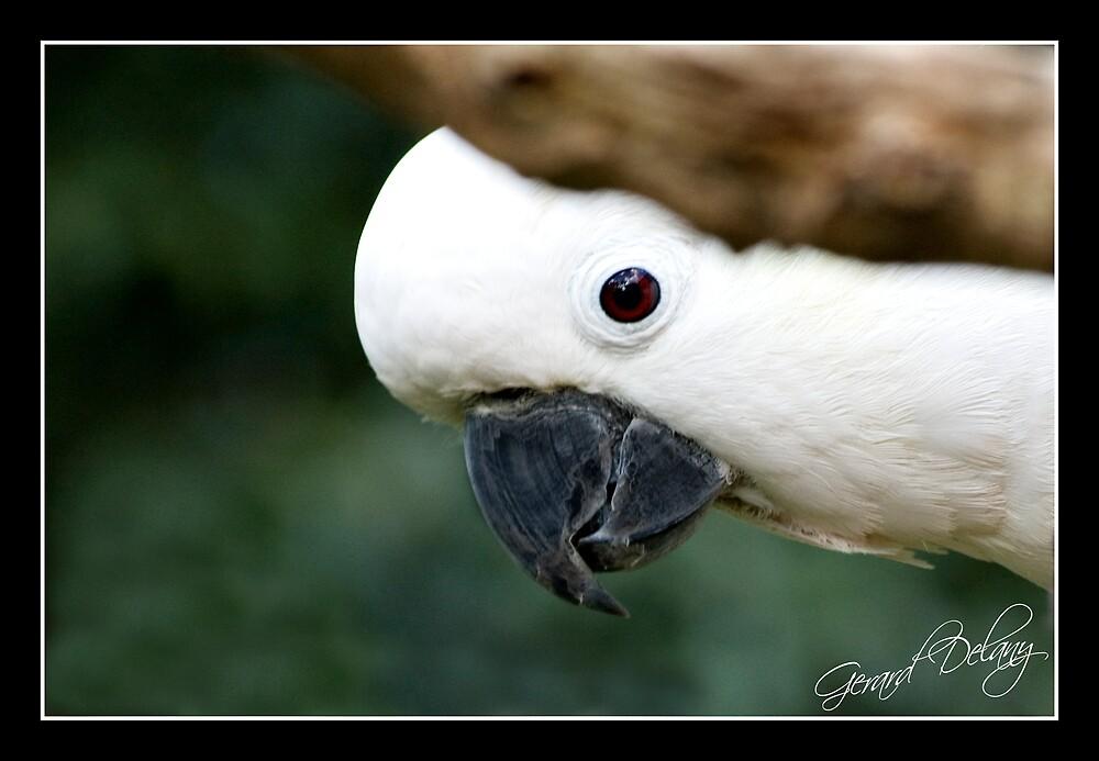 Sulphur-crested Cockatoo by Gerard Delany