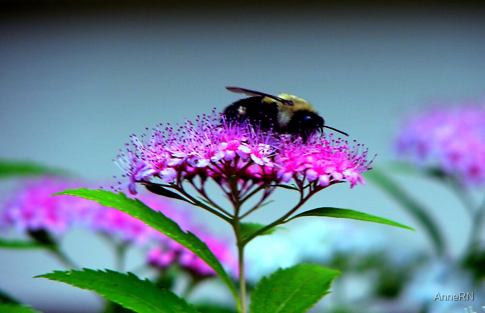 Bee Pink by AnneRN