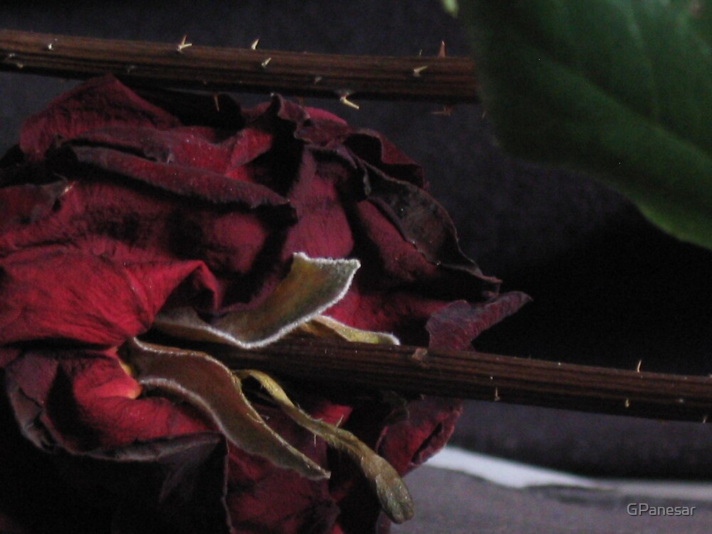 behind the rose by GPanesar