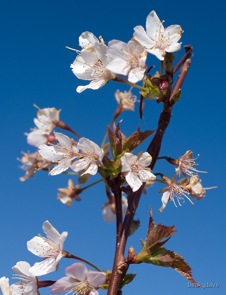 Blossom by beakydave