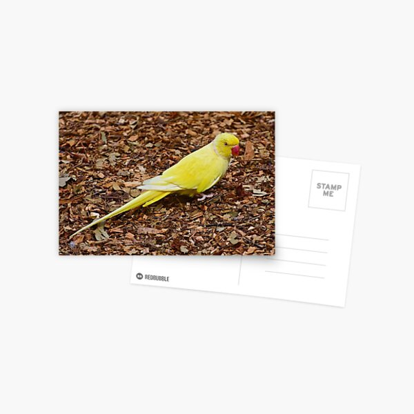 EXOTIC ~ PARROT ~ Indian Ringneck by David Irwin Postcard
