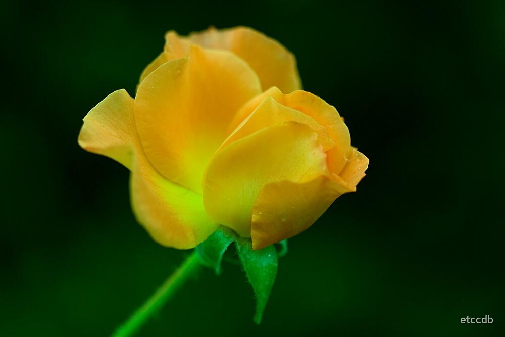 yellow rose by etccdb