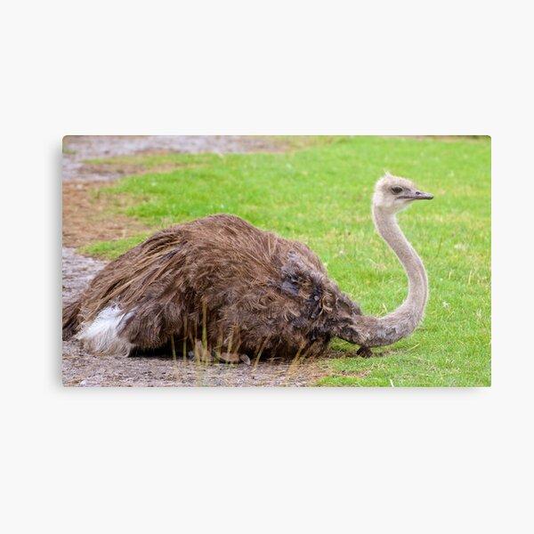 EXOTIC ~ RATITE ~ Ostrich dLxVNuuz by David Irwin Metal Print