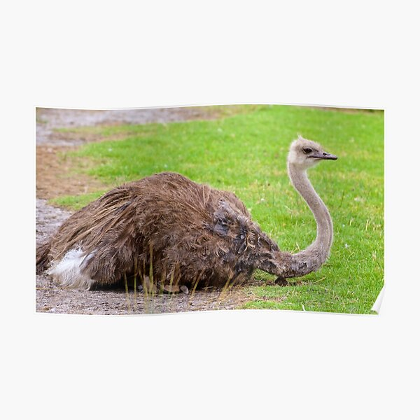 EXOTIC ~ RATITE ~ Ostrich by David Irwin Poster