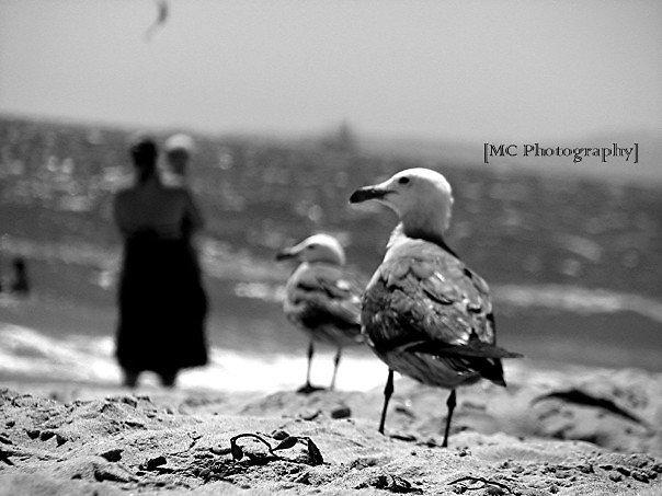Seagulls by Melissa  Carroll