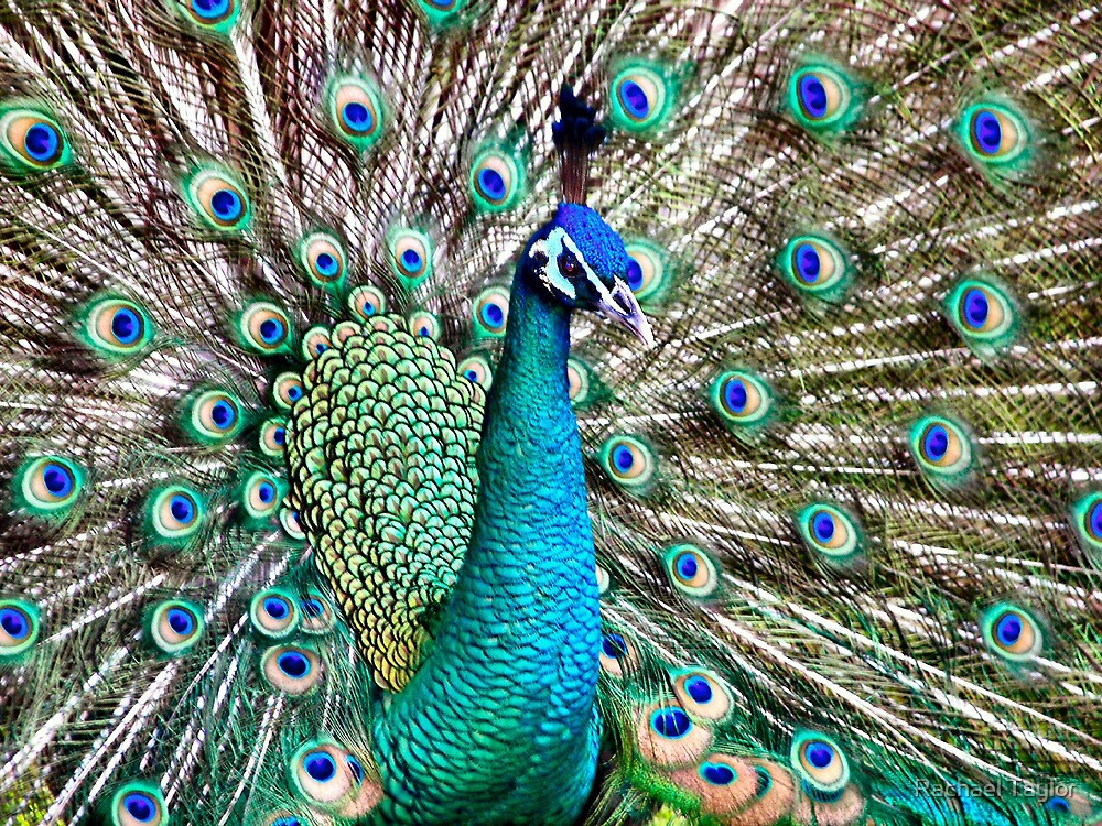 Peacock by Rachael Taylor