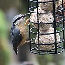 Nuthatch in the rain. by poohsmate