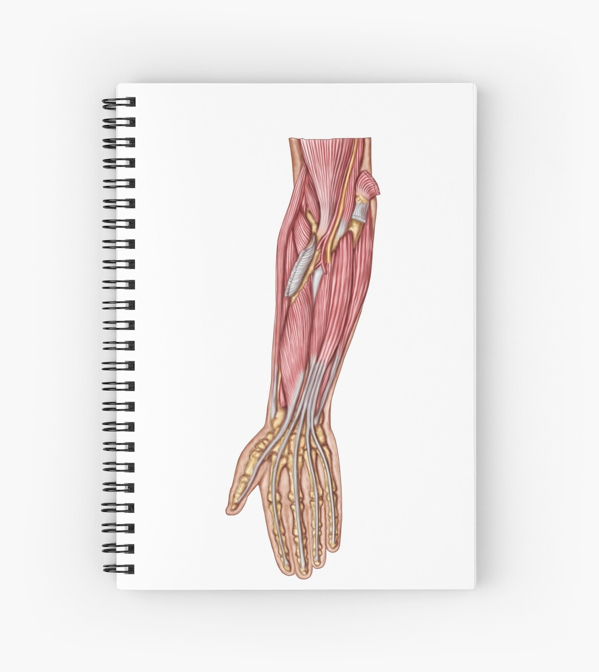 Anatomy Of Human Forearm Muscles Deep Anterior View Spiral
