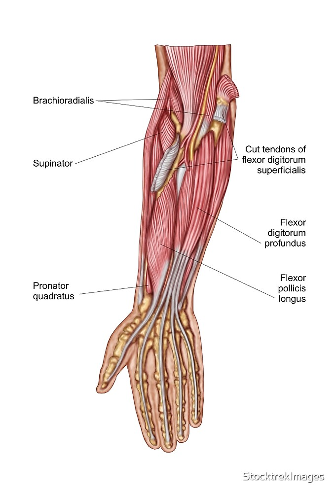 Anatomy Of Human Forearm Muscles Deep Anterior View By