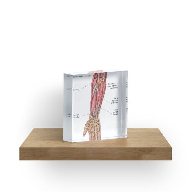 Bloques acrílicos «Anatomía de los músculos humanos del antebrazo ...