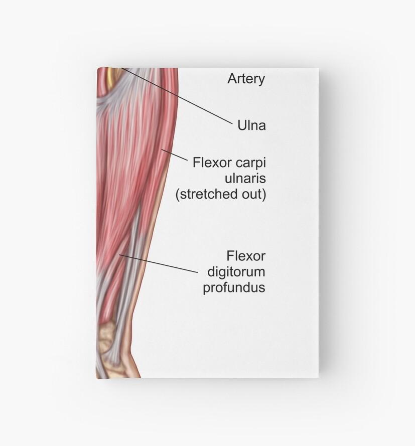 Cuadernos de tapa dura «Anatomía de los músculos del antebrazo ...