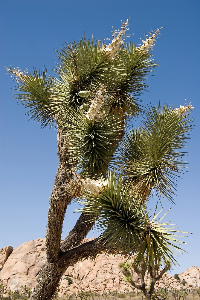 Joshua Tree by Mary  Lane