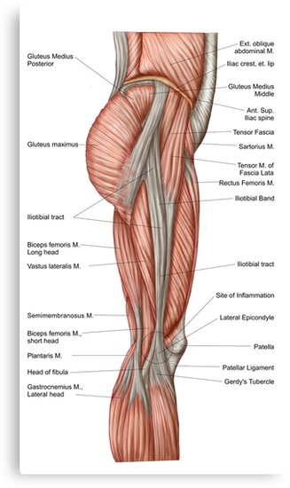 Lienzos «Anatomía de los músculos del muslo humano, vista anterior ...