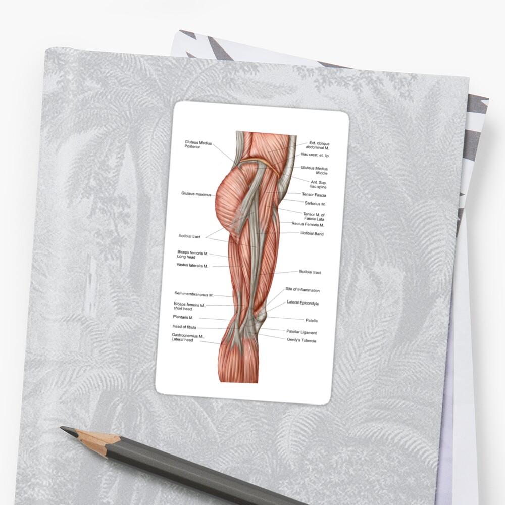 Pegatinas «Anatomía de los músculos del muslo humano, vista anterior ...