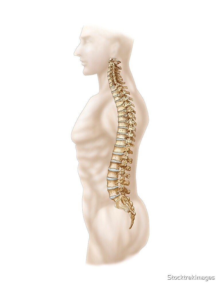 Anatomy of human vertebral column, left lateral view.\