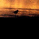 kildeer at sunrise by jim west