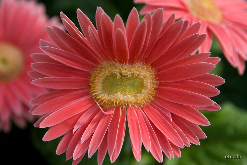 gerber daisy by etccdb