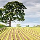 A Mighty Oak by Stephen Knowles