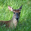 White-Tailed Doe by Gary L   Suddath