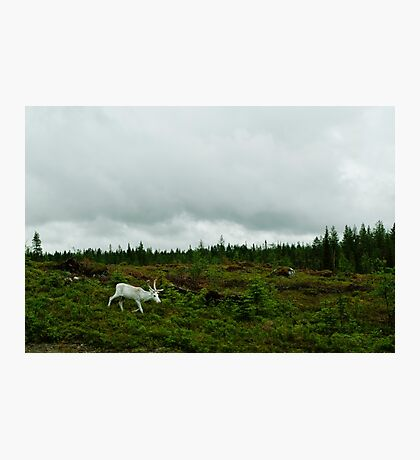 The White Reindeer Photographic Print