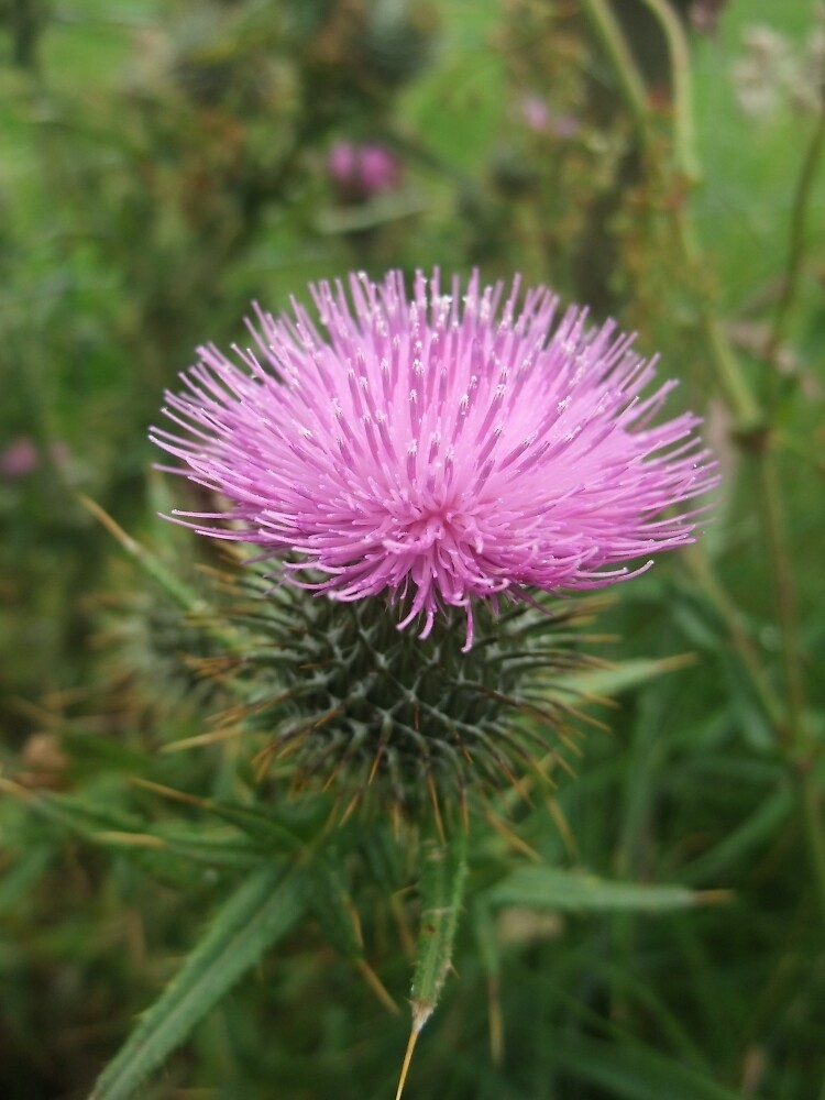Spear thistle by IOMWildFlowers