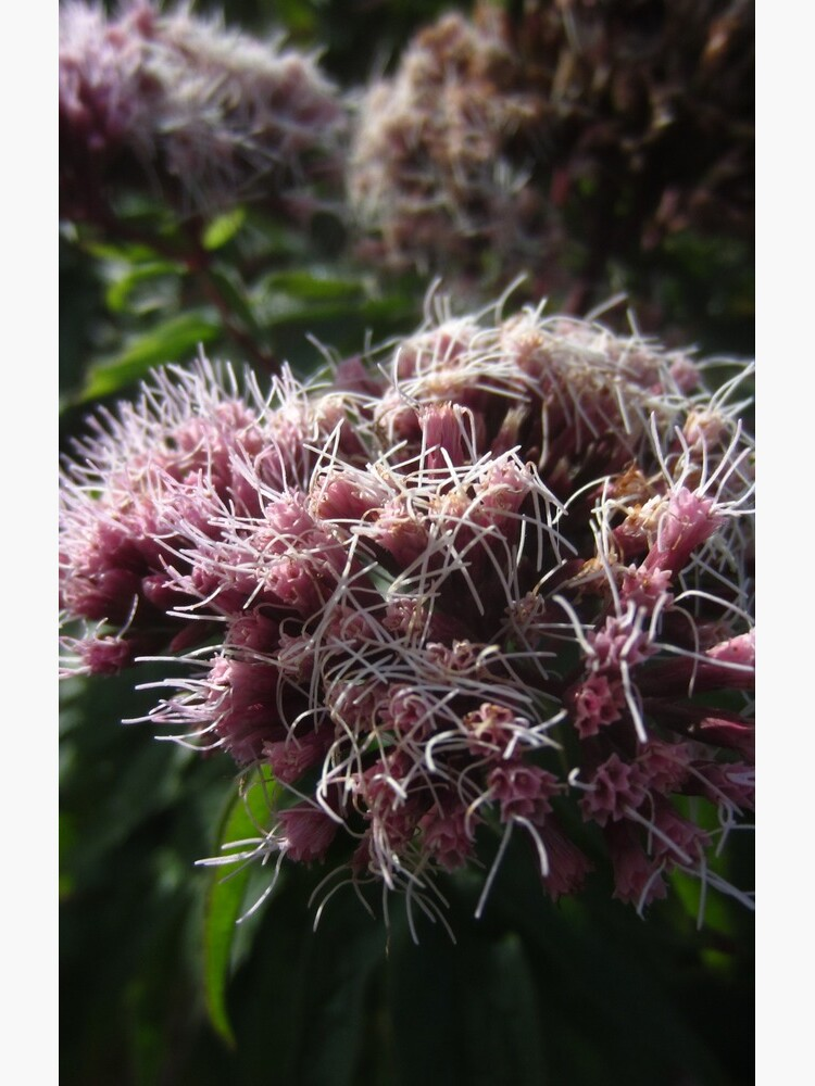 Hemp agrimony by IOMWildFlowers