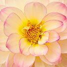 Closeup of Dahlia by Jeffrey  Sinnock