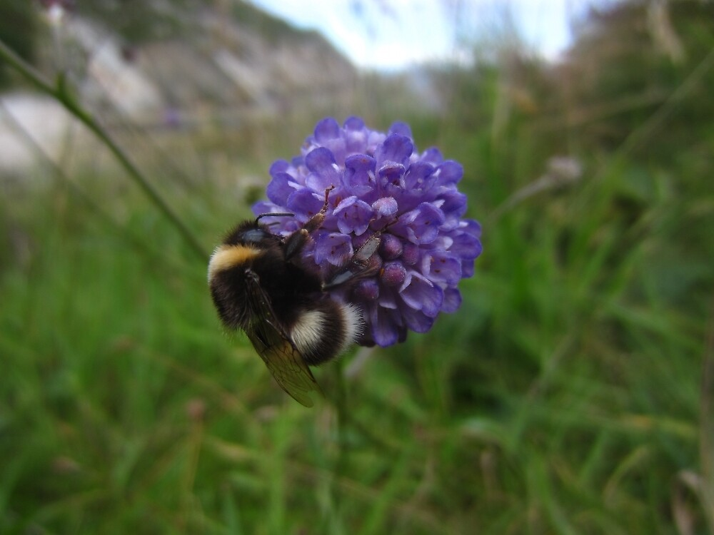 Devil's-bit scabious by IOMWildFlowers