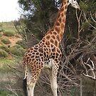 Giraffe by BevB