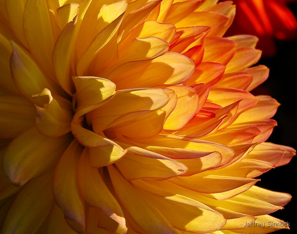 yellow Glowing petals by Jeffrey  Sinnock