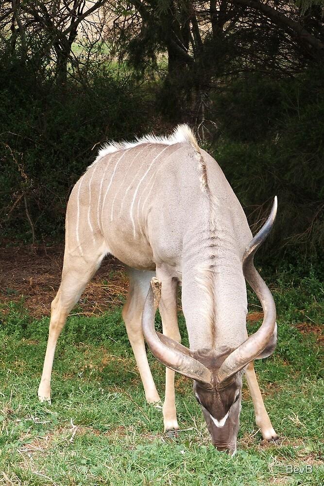Antelope by BevB