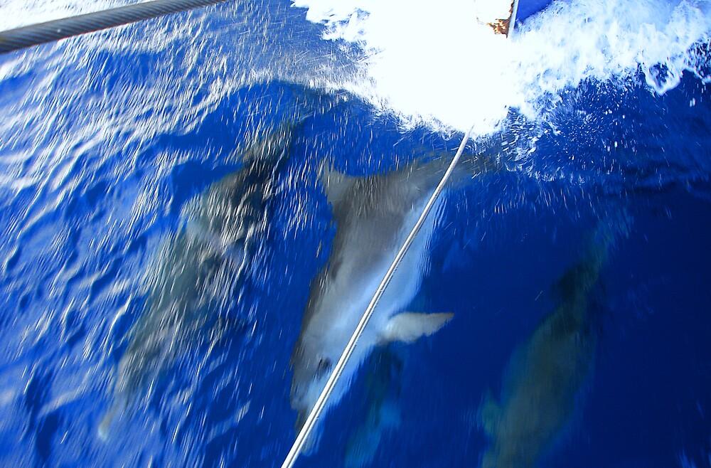 Dolphin Watchin Whitsundays by Dougjsmith