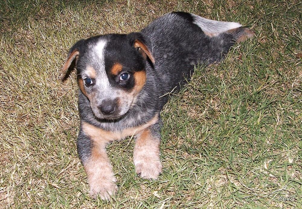 Blue Heeler Pup ll by BevB