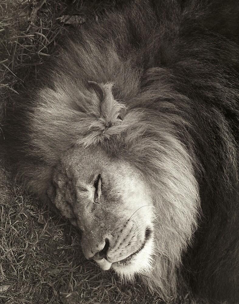 Sleeping Lion by Gavan  Mitchell