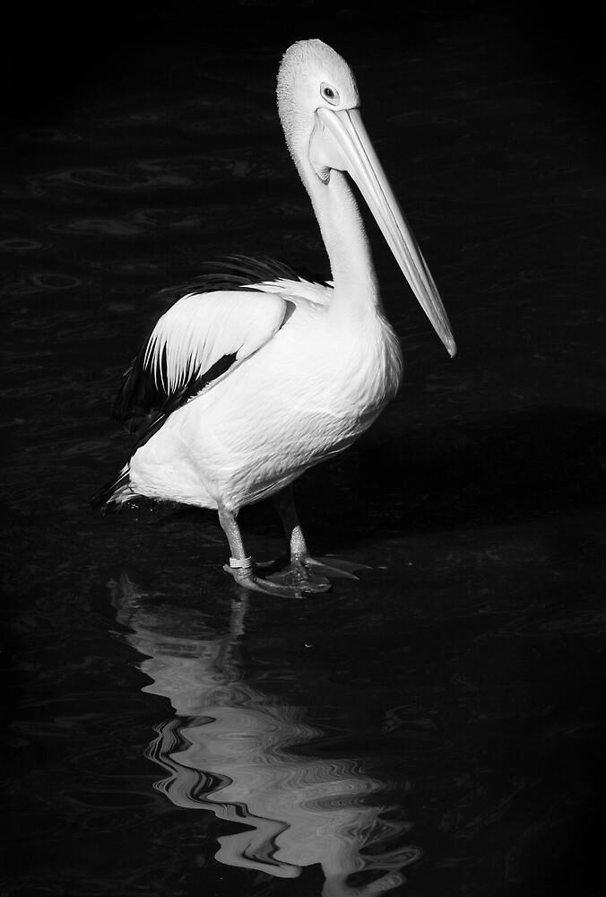 Pelican by Gavan  Mitchell